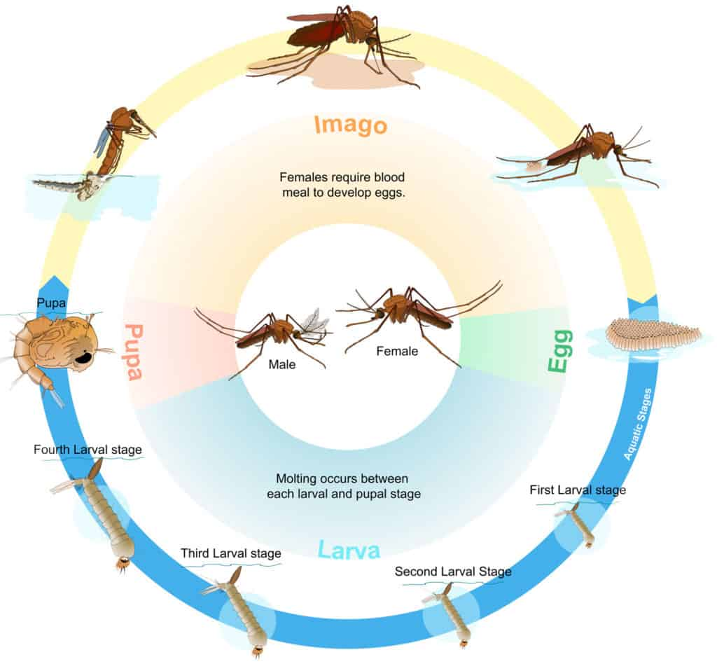 Mosquito Life Cycle how long does a mosquito live