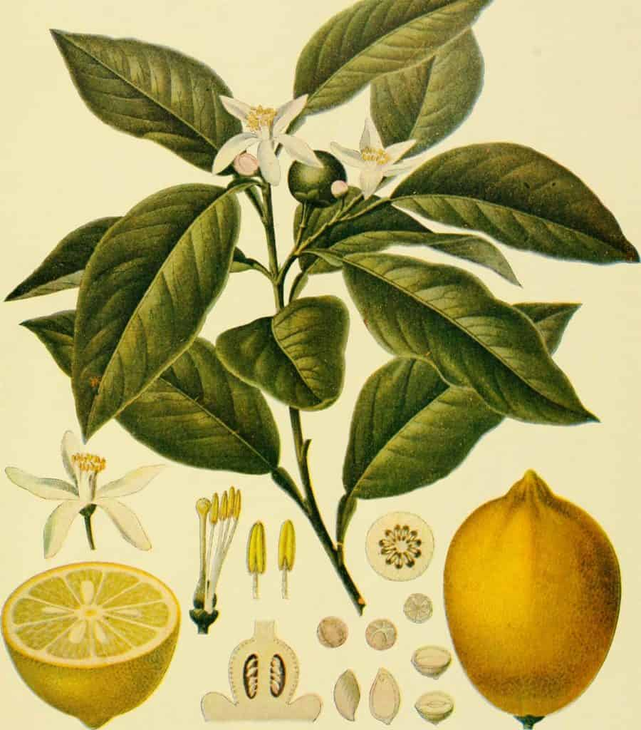 lemon botanical plant illustration